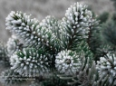 Everygreen Frost